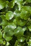 Centella asiatica. Stock Images