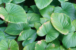 Centella asiatica is a herb plant Royalty Free Stock Image