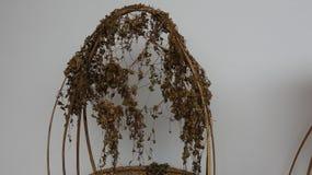 Centella asiatica L Urban har en medicinsk effekt, når han har torkat royaltyfria foton