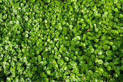 The Centella asiatica Royalty Free Stock Photo