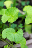 Centella asiatica leaves Royalty Free Stock Images