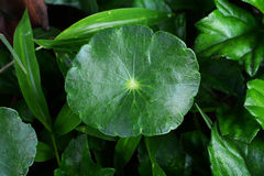 Centella asiatica. Linn Urban , We can eat this vegetable Stock Photography