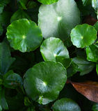Centella asiatica. Linn Urban , We can eat this vegetable Royalty Free Stock Photography