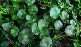 Centella asiatica. Linn Urban , We can eat this vegetable Stock Photos