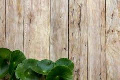 Centella asiatica na drewnie Zdjęcia Royalty Free