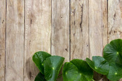 Centella asiatica na drewnie Zdjęcie Royalty Free