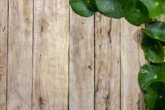 Centella asiatica na drewnie Obrazy Stock