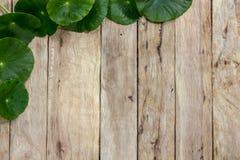 Centella asiatica na drewnie Obrazy Royalty Free