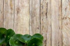 Centella asiatica na drewnie Fotografia Stock