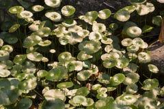 Centella asiatica in garden. Centella asiatica in nature garden Royalty Free Stock Images