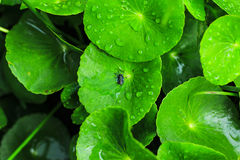 Centella asiatica non-toxic health food,Insects on the water Royalty Free Stock Photo