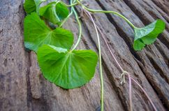 Centella asiatica on old wood floor. Stock Images
