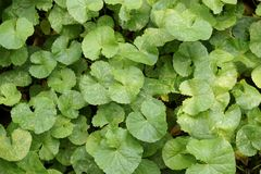 Centella asiatica plant. In nature garden Stock Photo