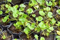Centella asiatica plant in vegetable garden. Green centella asiatica plant in vegetable garden Stock Photo