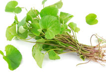 Centella Asiatica. Plant, which is said to have many medicinal properties Royalty Free Stock Photo