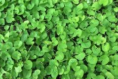 Centella asiatica plants. At the garden Stock Photo
