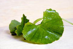 Centella asiatica or Thankuni in Indian, Buabok leaf in Thailand Royalty Free Stock Images