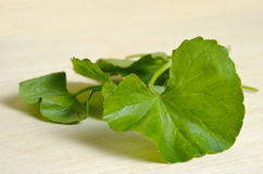 Centella asiatica or Thankuni in Indian, Buabok leaf in Thailand Royalty Free Stock Photos