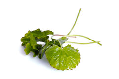 Centella asiatica or Thankuni in Indian, Buabok leaf in Thailand Stock Photography