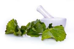 Centella asiatica or Thankuni in Indian, Buabok leaf in Thailand Stock Photos