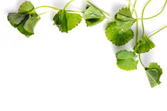 Centella asiatica or Thankuni in Indian, Buabok leaf in Thailand Stock Image