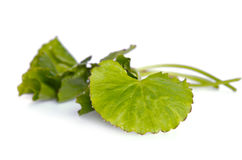 Centella asiatica or Thankuni in Indian, Buabok leaf in Thailand Royalty Free Stock Photo