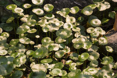 Centella asiatica in tuin Royalty-vrije Stock Afbeeldingen