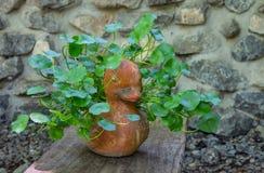Centella asiatica in un vaso sulla tavola e sul fondo della parete di pietra immagini stock libere da diritti