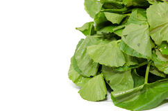 Centella asiatica vegetables Stock Image