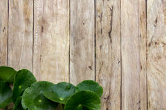 Centella asiatica on wood Royalty Free Stock Photos