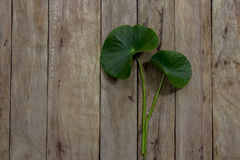 Centella asiatica on wood Stock Photography