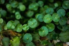 Centella in flowerpot. Texture background Stock Photos