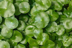 Centella leaves Stock Photo