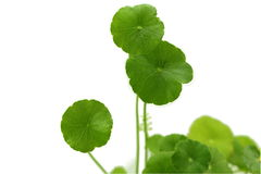 Centella is a small herb in wetland. Stock Photos