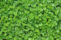 Centella trees Royalty Free Stock Photo