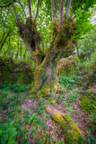 Centenaire de châtaigne dans une forêt galicienne Photos stock