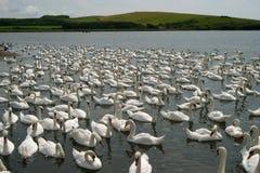 Centenares de cisnes imágenes de archivo libres de regalías