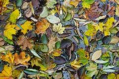 Centenares de hojas de otoño caidas en el agua de un lago frío Imagen de archivo libre de regalías