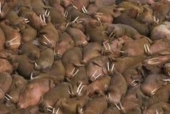 Centenares de morsas en la playa en la isla redonda, Fotos de archivo