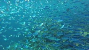 Centenares de nadada más fusilier en el mar metrajes