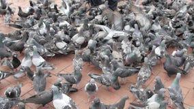 Centenares de palomas en el frente de la playa - Durban Suráfrica almacen de video