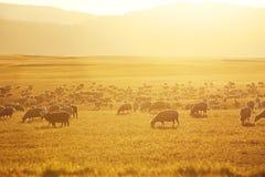 Centenares de pastar ovejas Imagen de archivo