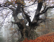 Centenarian Beech Tree in Fog Stock Photography