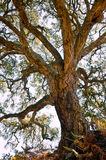 Centenarian cork tree Royalty Free Stock Image
