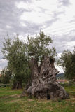 Centenarian olive tree in a wood Royalty Free Stock Image