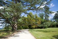 Centenary cedar in the garden Royalty Free Stock Photography
