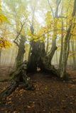 Chestnut. A centenary chestnut called The Grandfather in autumn inside a forest of Spain stock photography