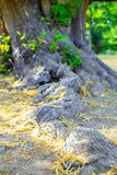 Centenary chestnut tree root. Selective focus Stock Images