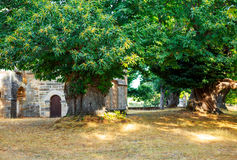 Centenary chestnut trees in ancient Celtic settlement.  Stock Images