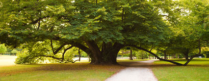 Centenary linden tree Royalty Free Stock Images